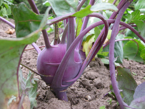 Kohlrabi early purple Vienna
