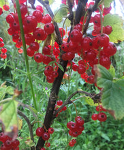 Load image into Gallery viewer, Redcurrant Jelly