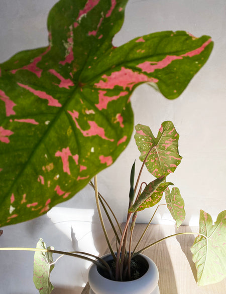 Apollo + Simonett: Caladium Stack