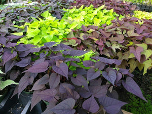 "4.5"" Potato Vine"