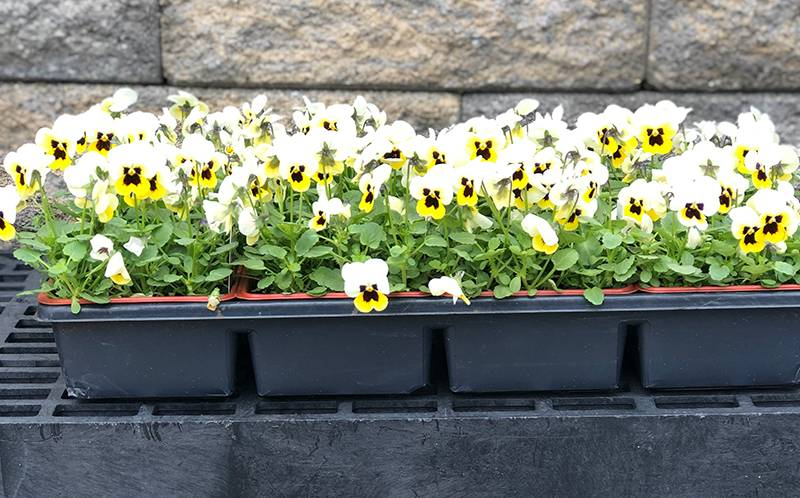 Flat of Pansies