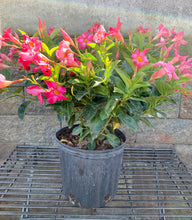 "Load image into Gallery viewer, 10"" Dipladenia Bush"
