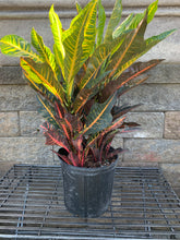 "Load image into Gallery viewer, 10"" Croton Petra"