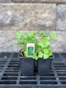 Italian Parsley Cell Pack