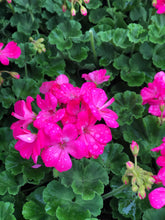 "Load image into Gallery viewer, 4.5"" Geranium"