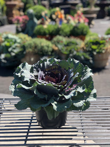 "9"" Cabbage"
