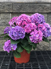 "Load image into Gallery viewer, 7.5"" Full Bloom Hydrangea"
