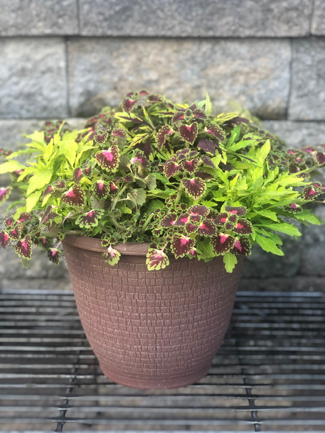 "Coleus Combo in 10"" Deco Tub"