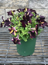 "Load image into Gallery viewer, 6.5"" Specialty Petunias"
