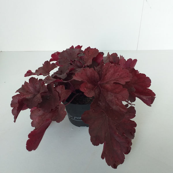 Heuchera donkerrood