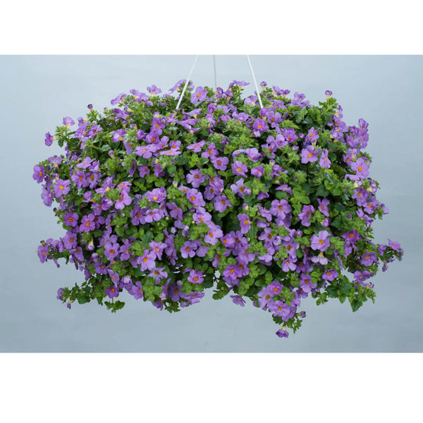 Bacopa violet