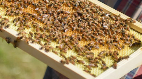 Bee keeping dates back to the Egyptians