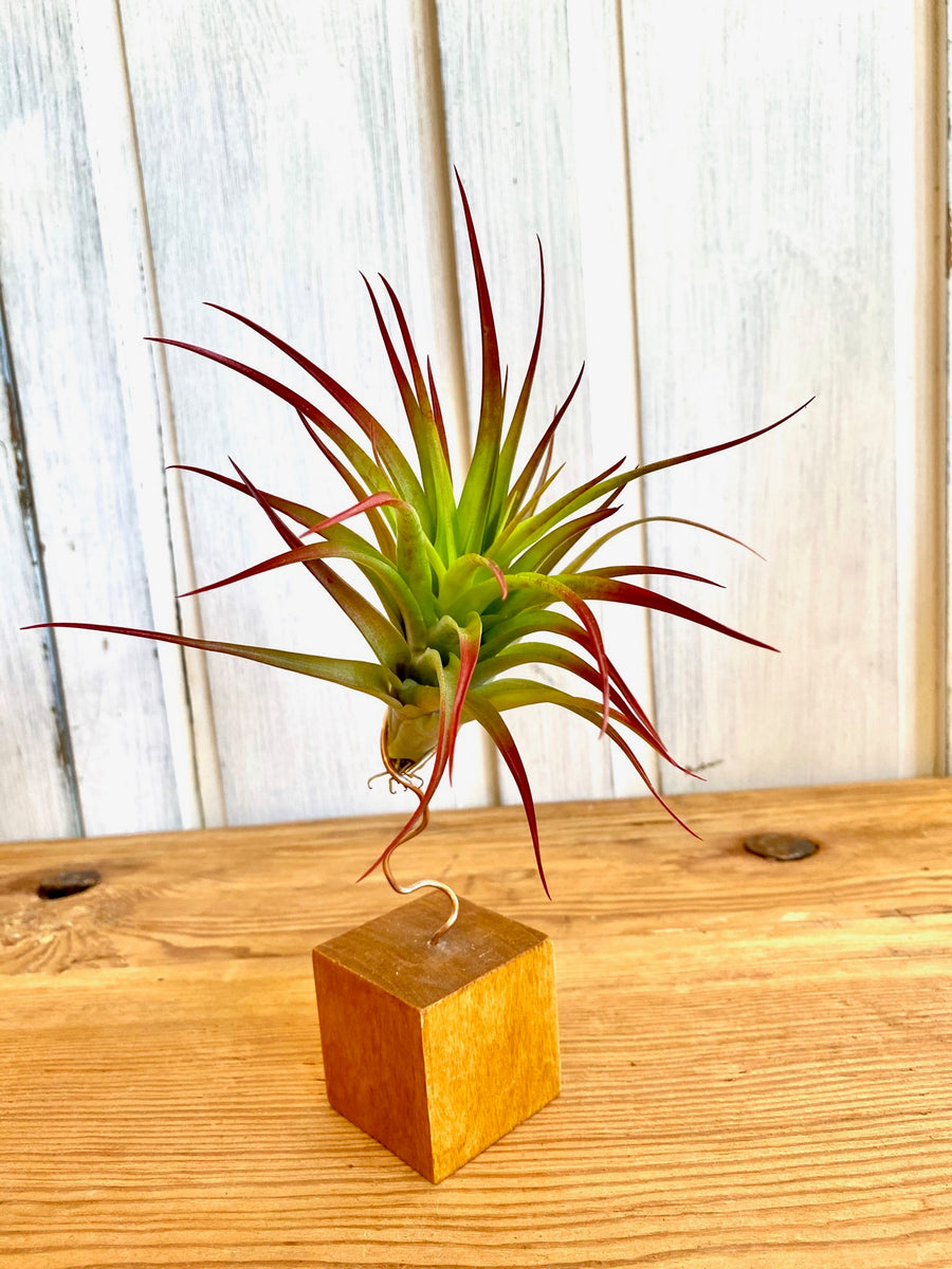 Air Plant with Stand