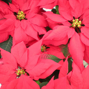 Test Your Poinsettia IQ
