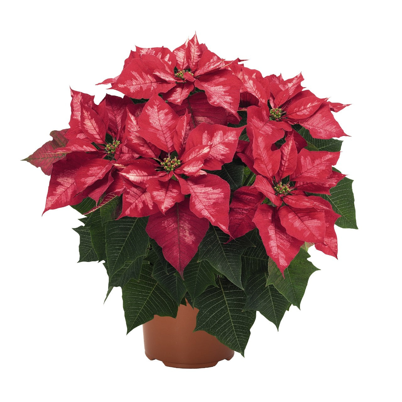 Poinsettia - Ice Punch