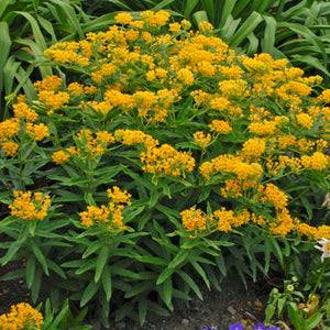 Asclepias tuberosa 'Hero Yellow'