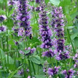 Agastache 'Little Adder' Hyssop