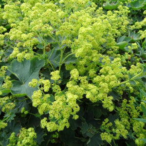 Alchemilla sericata  'Gold Strike' Lady's Mantle