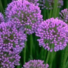 Allium tanguticum 'Balloon Bouquet' Ornamental Chive