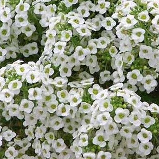 Alyssum White Snow Cry
