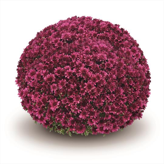 Chrysanthemum 'Arluno Purple'
