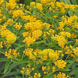 Asclepias Tuberosa Hero Yellow