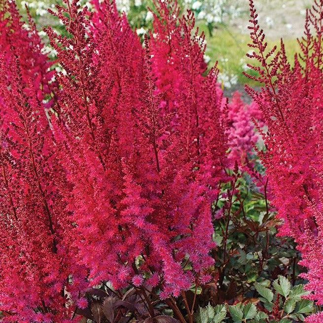 Astilbe Chocolate Cherry