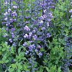 Baptisia 'Purple Smoke' False Indigo