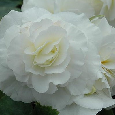 Begonia Nonstop White