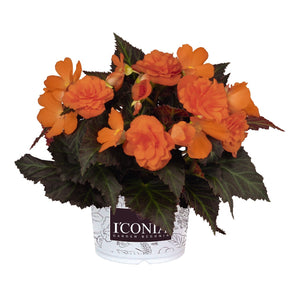 Begonia I'Conia Portifino Hot Orange