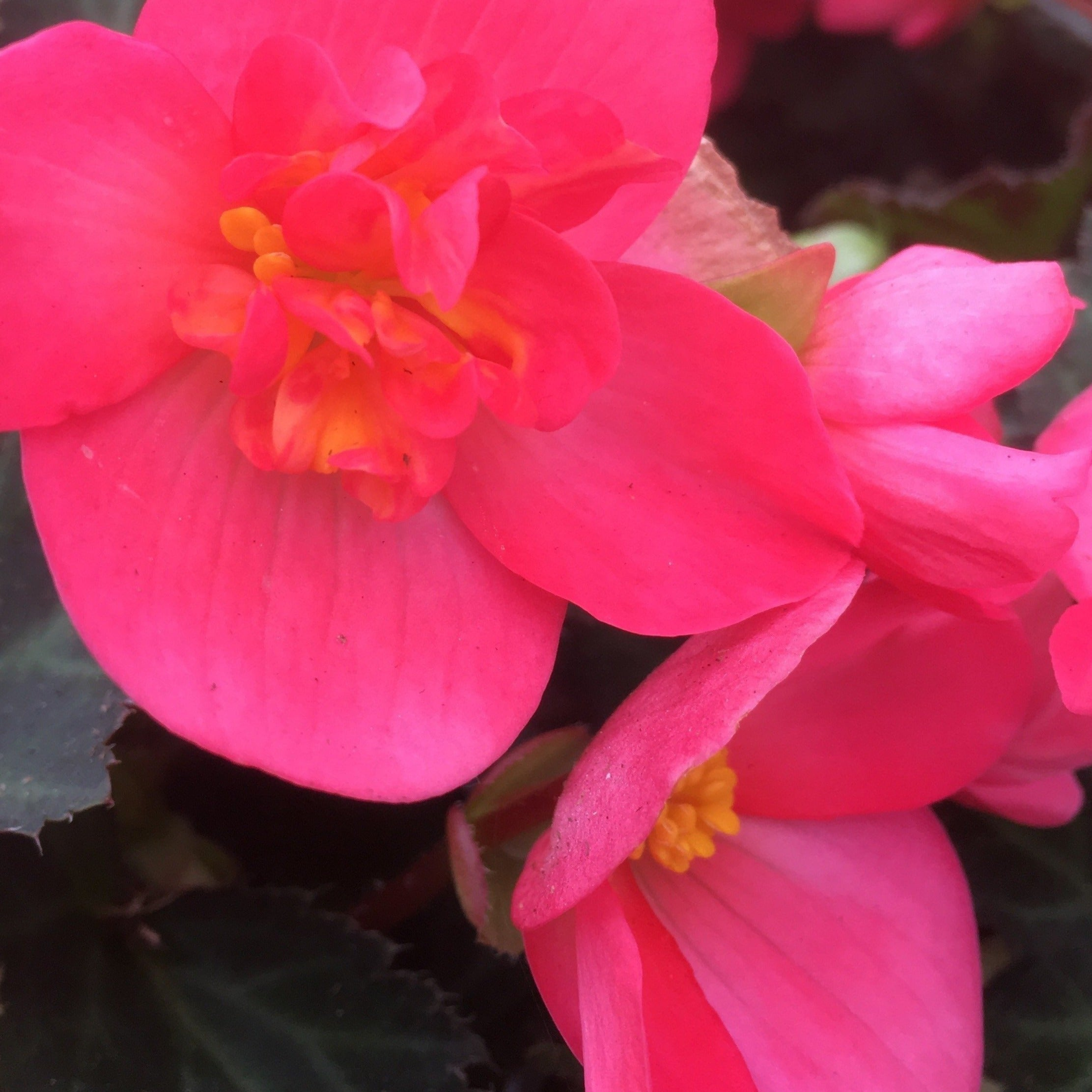 Begonia Unbelievable First Kiss