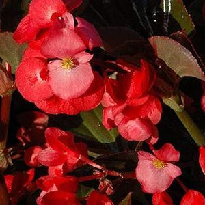 Begonia Whopper Bronze Leaf Red HB