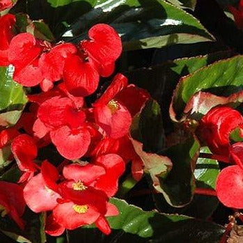 Begonia Whopper Green Leaf Red HB