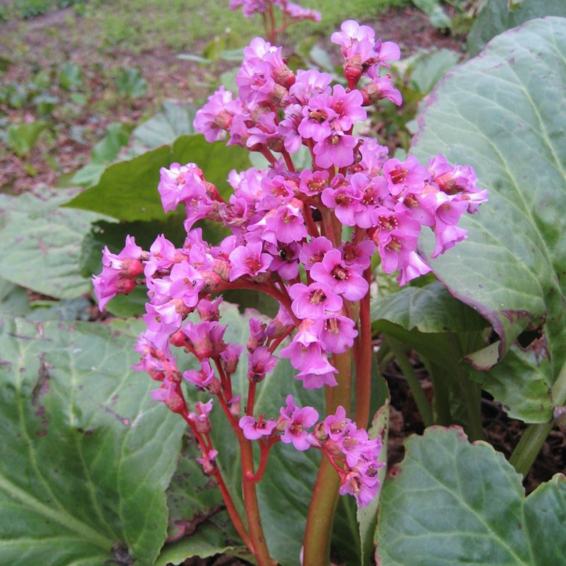 Bergenia purpurascens Purple