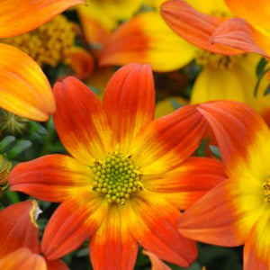 Bidens Beedance Painted Red