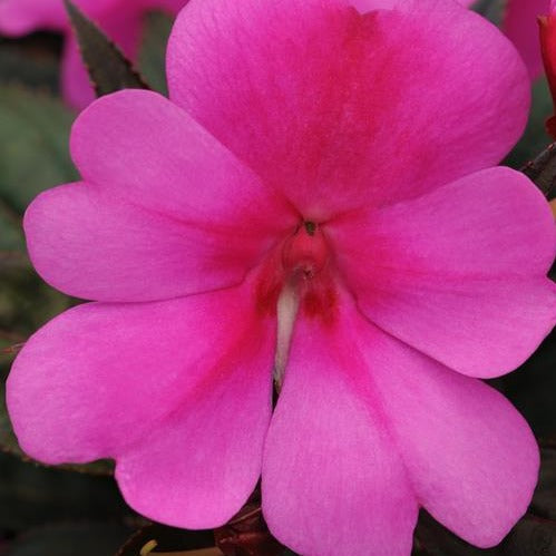 Big Bounce Impatiens Lavender HB