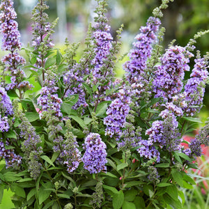 Buddleia High Five Purple