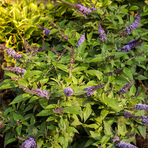 Buddleia Pugster Blue¨