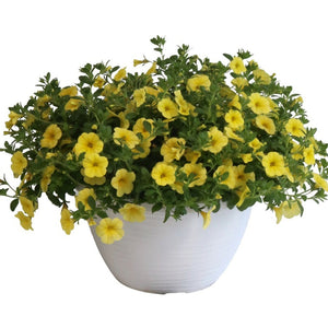 Calibrachoa Bloomtasic Yellow