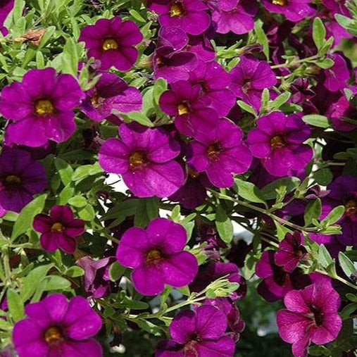 Calibrachoa Cabaret Purple