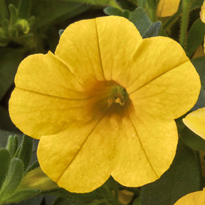 Calibrachoa Cabrio Yellow