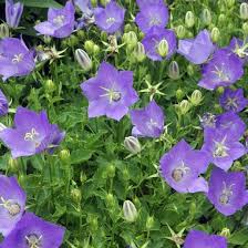 Campanula 'Samantha' Bellflower