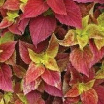 Coleus Alabama Sunset