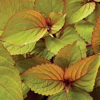 Coleus Orange King