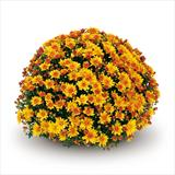 Chrysanthemum 'Conaco Gold'