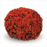 Chrysanthemum 'Conaco Orange'