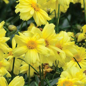 Coreopsis 'Galaxy' Tickseed