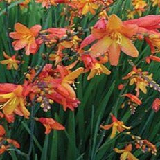 Crocosmia 'Orange Pekoe' African Lily