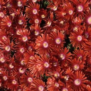 Delosperma Red Mountain Flame Hardy Ice Plant