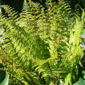 Dryopteris affinis Golden-scaled Male Fern